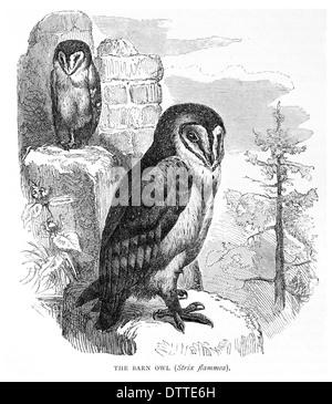 Barn Owl Strix flammea - Stock Photo