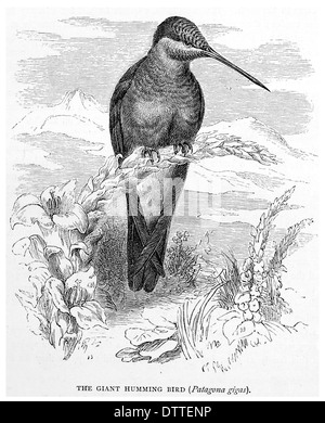 Giant Humming Bird Patagona gigas - Stock Photo