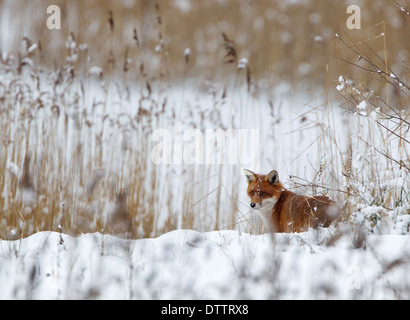 Red fox on the edge of a reed bed hunting in snow - Stock Photo