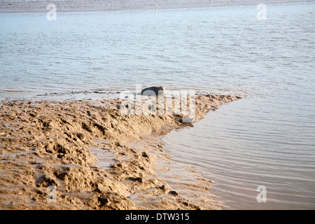 Phoca vitulina or Common Seal on muddy banks of Butley Creek River, Suffolk, England - Stock Photo