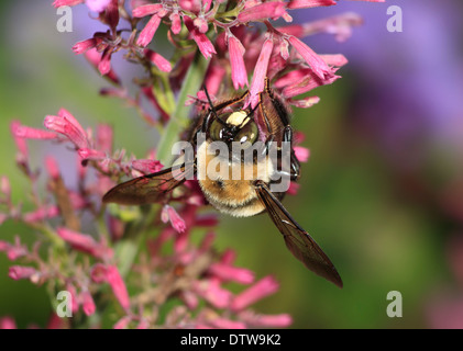 A Carpenter Bee Nactaring On Pinks Flower, Xylocopa micans - Stock Photo