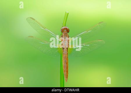 Scarlet Dragonfly - Stock Photo
