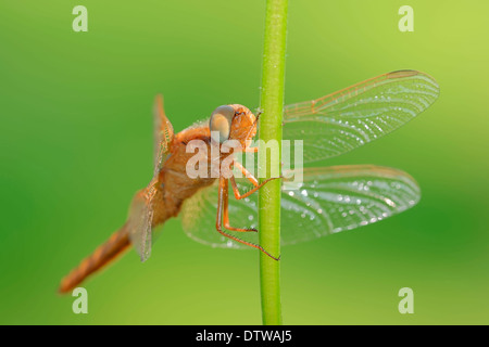 Scarlet Dragonfly - Stock Photo