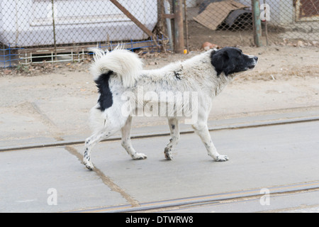 Mixed black and white stray dog (Canis lupus familiaris) - Stock Photo