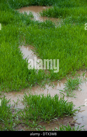Waterlogged grassland after spring flooding. Cumbria. - Stock Photo