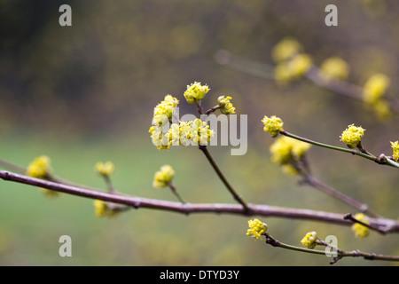 Cornus officinalis blossom. - Stock Photo