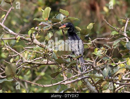 Long-tailed cormorant perched in tree in Uganda - Stock Photo