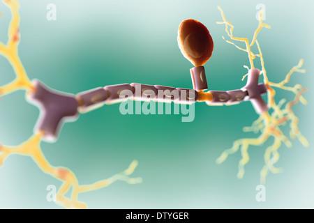 Unipolar Neuron - Stock Photo