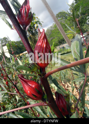 Ripening red calyces of roselle (or rosella fruit) on plant (Hibiscus sabdariffa) - Stock Photo