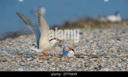 Common Tern (Sterna hirundo), male handing over a bridal gift to a female, breeding colony on a shell bank - Stock Photo