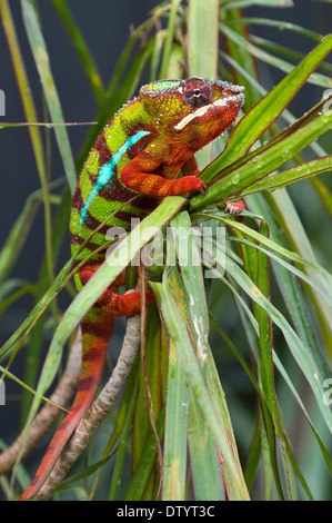 Panther Chameleon (Furcifer pardalis), butterfly house, Forgaria nel Friuli, Udine province, Italy - Stock Photo