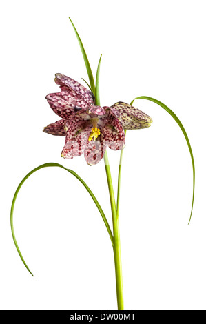 Snake's Head Fritillary (Fritillaria meleagris), Hesse, Germany - Stock Photo