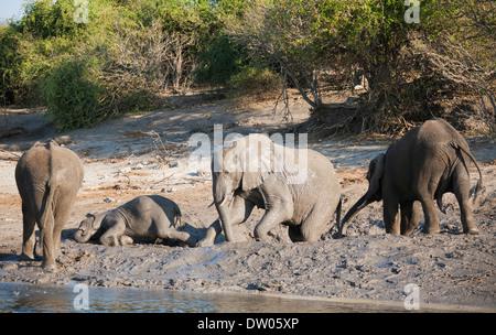 African Elephants (Loxodonta africana), small family at a muddy pool next to the Chobe River, Chobe National Park, - Stock Photo