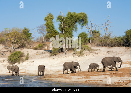 African Elephants (Loxodonta africana) breeding herd drinking at the bank of the Chobe River, Chobe National Park, - Stock Photo
