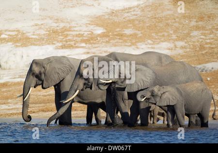 African Elephants (Loxodonta africana) breeding herd drinking at the bank of the Chobe River, Chobe National Park, - Stock Photo
