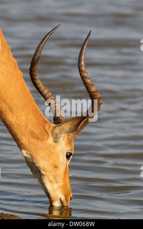 Impala (Aepyceros melampus), male, drinking at a lakeshore, Kruger National Park, South Africa - Stock Photo
