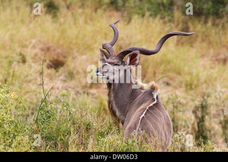 Greater Kudu (Tragelaphus strepsiceros), male with large horns, Kruger National Park, South Africa - Stock Photo