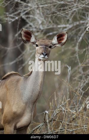 Greater Kudu (Tragelaphus strepsiceros), female, Kruger National Park, South Africa - Stock Photo
