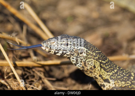 Nile Monitor (Varanus niloticus), showing its forked tongue, Kruger National Park, South Africa - Stock Photo