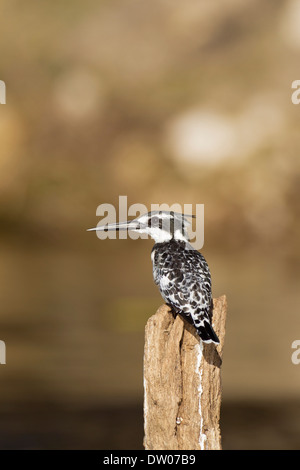 Pied Kingfisher (Ceryle rudis), perched on a pole in the Chobe River, Chobe National Park, Botswana - Stock Photo