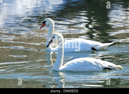 Trumeter Swan and Mute Swan swimming next to one another. Cygnus buccinator and Cygnus olor - Stock Photo