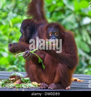 Two Orangutans ( Pongo pygmaeus ) Eating in Borneo, Malaysia - Stock Photo