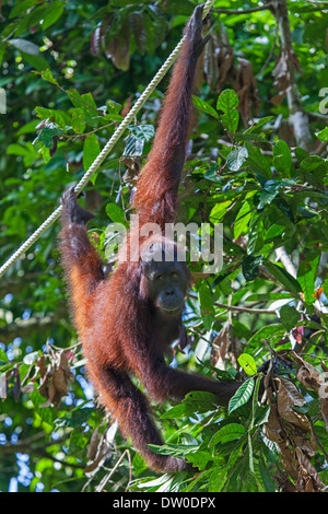An Orangutan ( Pongo pygmaeus ) Hanging on a Rope in Borneo, Malaysia - Stock Photo