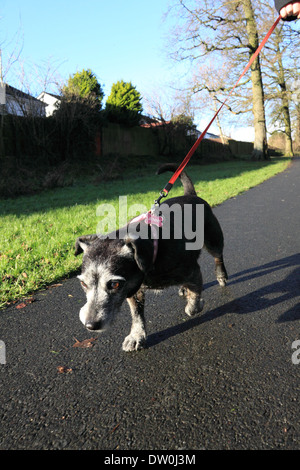 Small dog on a lead going for a walk in the park - Stock Photo
