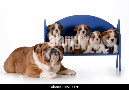 dog family - english bulldog father with five puppies sitting on a bench isolated on white background - pups 8 weeks - Stock Photo
