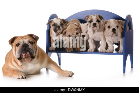 dog family - english bulldog father with five puppies sitting on a bench isolated on white background - Stock Photo