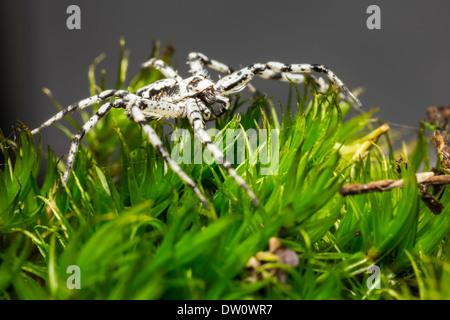 The Lichen Running Spider (Philodromus margaritatus) - Stock Photo