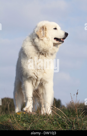 Pyrenean Mountain Dog  /  adult standing in a meadow - Stock Photo
