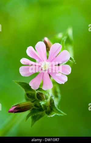 Red Campion flower.(Silene dioica) - Stock Photo
