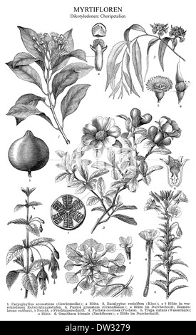 Historical illustration, dicotyledons, also known as dicots - Stock Photo