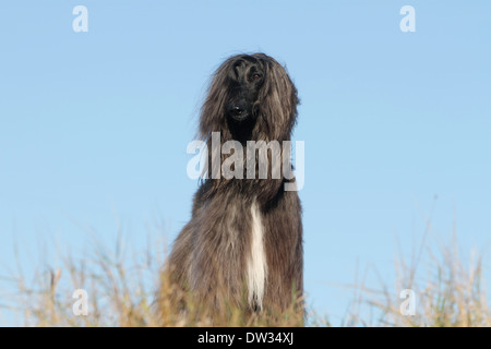 Dog Afghan Hound /  adult standing in a meadow - Stock Photo