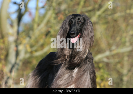 Dog Afghan Hound /  adult portrait - Stock Photo