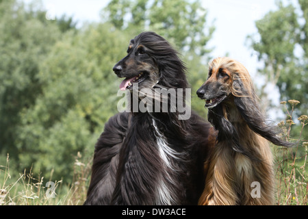 Dog Afghan Hound /  two adults (different colors) portrait - Stock Photo