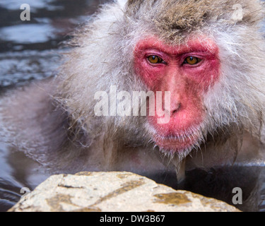 Japanese Snow Monkeys in Nagano, Japan. - Stock Photo