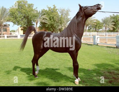 Arabian or Arab horse, Sharjah (emirate), UAE - Stock Photo
