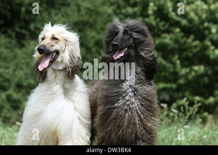 Dog Afghan Hound /  two adults portrait - Stock Photo