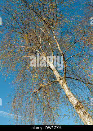 SILVER BIRCH TREE IN AUTUMN AGAINST BLUE SKY England UK - Stock Photo