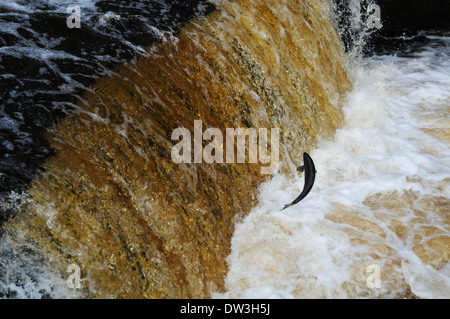 Atlantic salmon (Salmo salar), adult leaping up Stainforth Force on the River Ribble in the Yorkshire Dales National - Stock Photo