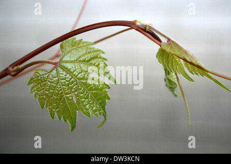 Young grape vine with fresh leaves - Stock Photo