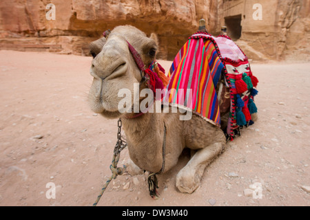 Close up of camel in the courtyard in front of Al Khazneh, (the Treasury), Petra, Jordan - Stock Photo