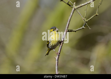 Siskin (Carduelis spinus). Male perched on a twig. - Stock Photo