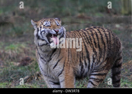 Kingcraig, UK. 26th Feb, 2014. An Amur tiger pants after running in the Highland Wildlife Park Credit: Keith Larby/Alamy - Stock Photo