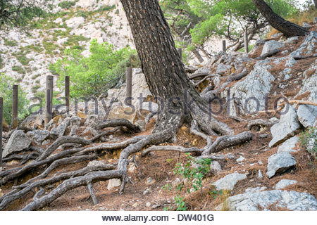 Pine tree trunks in rocky Mediterranean landscape, Calanque de Sugiton, Parc National des Calanques, France - Stock Photo
