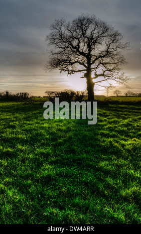 Single tree in a hedgerow in the English countryside, silhouetted against the setting sun and casting a shadow across - Stock Photo
