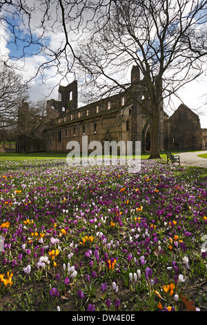 Crocuses in the grounds of Kirkstall Abbey, Leeds, West Yorkshire, England, UK. - Stock Photo