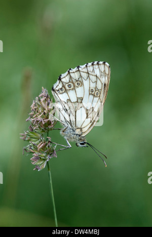 Marbled white butterfly, Melanargia galathea - Stock Photo